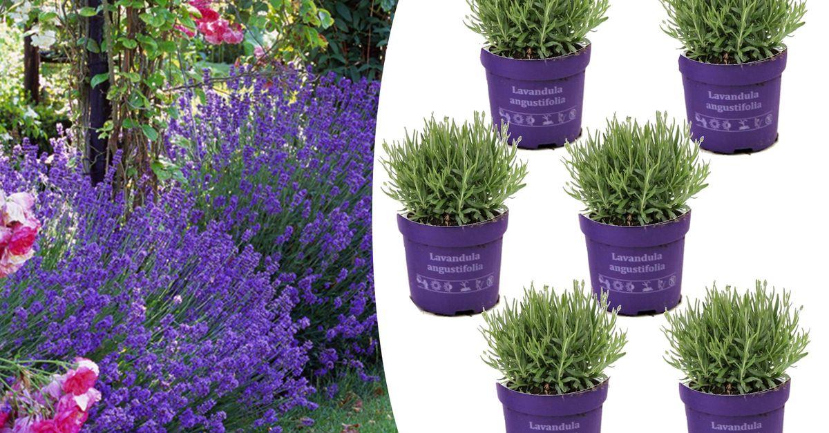 6 plants de lavande (10 - 15 cm)