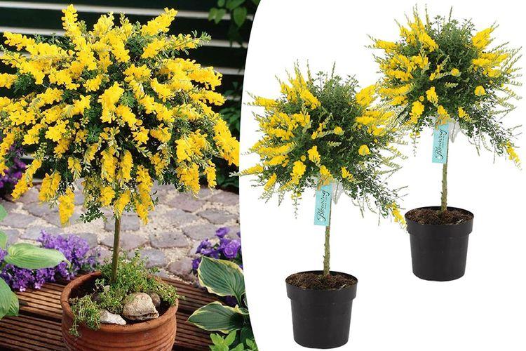 Set van 2 rijkbloeiende Cytissus kamerbrem-boompjes