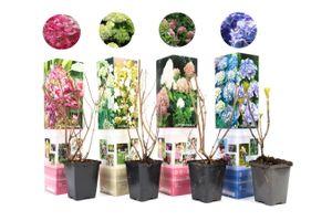 Set van 4 Hydrangea Hortensia's (25 - 35 cm)
