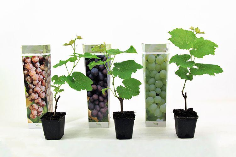 Set van 3 druivenplanten (25 - 40 cm)