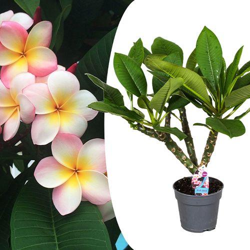 Exotische Plumeria Hawaiian
