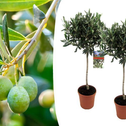 2 winterharde olijfbomen op stam (90 - 100 cm)