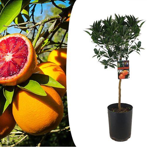 Citrus Tarocco Bloedsinaasappelboom (90 - 110 cm)