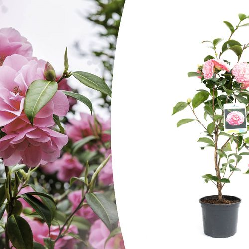 Camellia Japanse roos (50 - 60 cm)