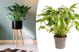 Philodendron Xanadu-kamerplant (55 - 70 cm)