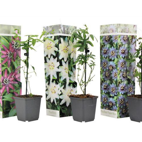 Set van 3 gemengde Passiflora-planten (15 - 35 cm)