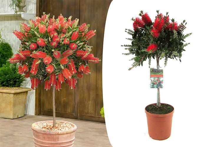 Lampenpoetser-plant: Callistemon Laevis (90 - 110 cm)
