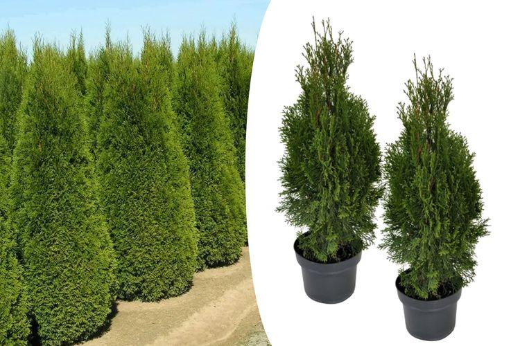 Set van 2 Haagconiferen (60 - 80 cm)