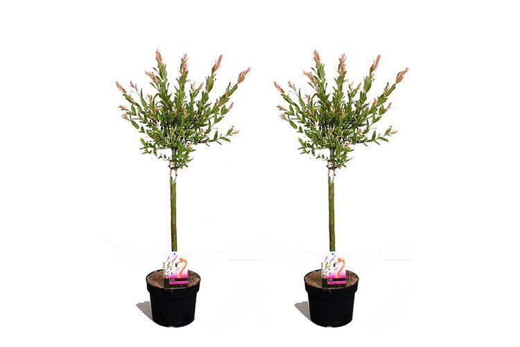 2 Salix Flamingo bomen (80 - 90 cm)