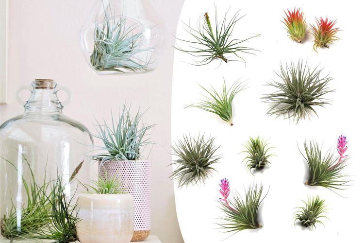 10 Tillandsia luchtplanten