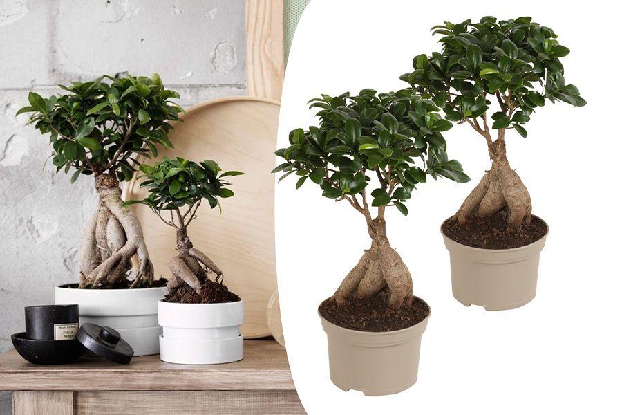 2 Japanse Bonsai's Ficus Ginseng (40 - 45 cm)