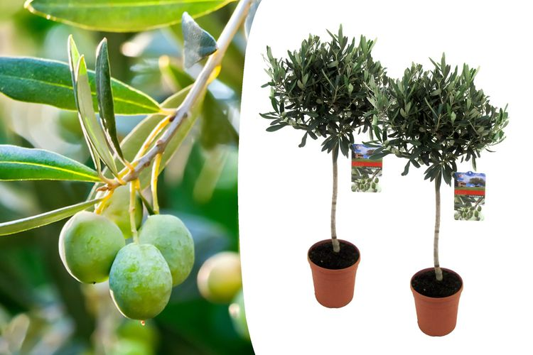 SlaJeSlag 2 winterharde olijfbomen op stam (90 - 100 cm)