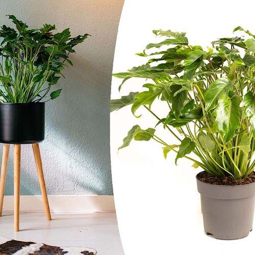 Philodendron Xanadu (55 - 70 cm)