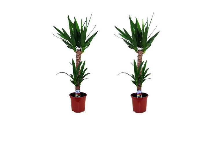 yucca plante interieur 2 plantes d 39 int rieur yucca elephantipes vavabid participez aux. Black Bedroom Furniture Sets. Home Design Ideas