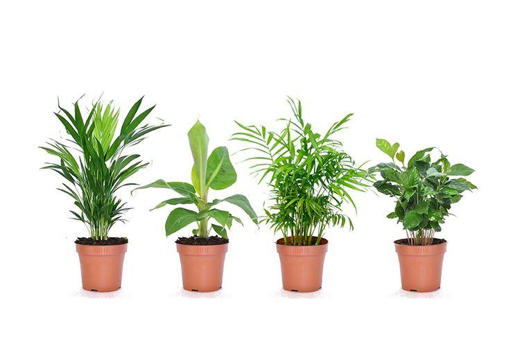 Set van 4 kamerplanten (25 - 40 cm)