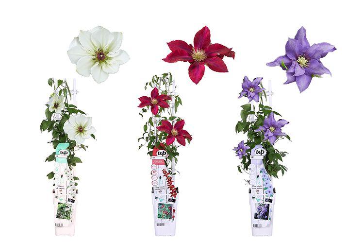Set van 3 clematisplanten op rek (50 - 60 cm)