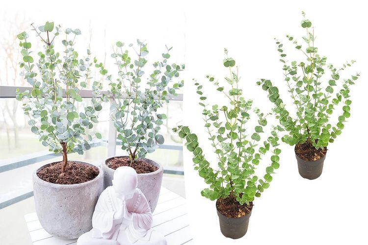 Set van 2 Eucalyptus Gunni 'Azura' struiken (30 40 cm)