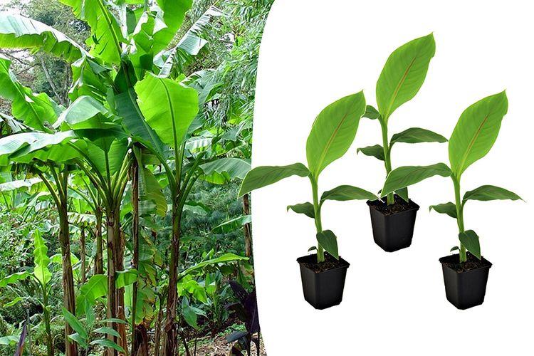 Set van 3 winterharde bananenplantjes (25 - 45 cm)