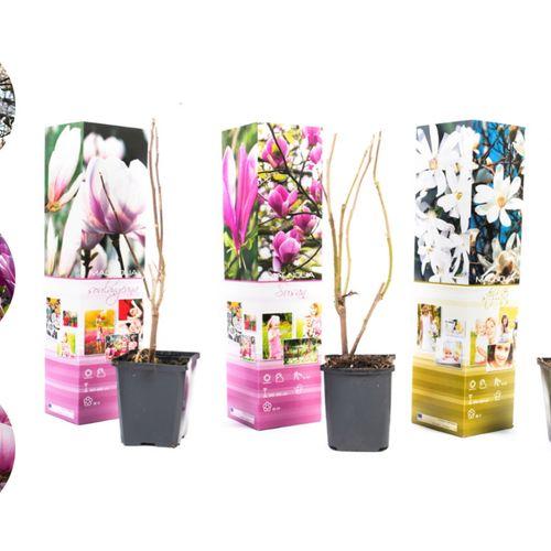 Set van 3 Magnolia-planten (20 - 30 cm)