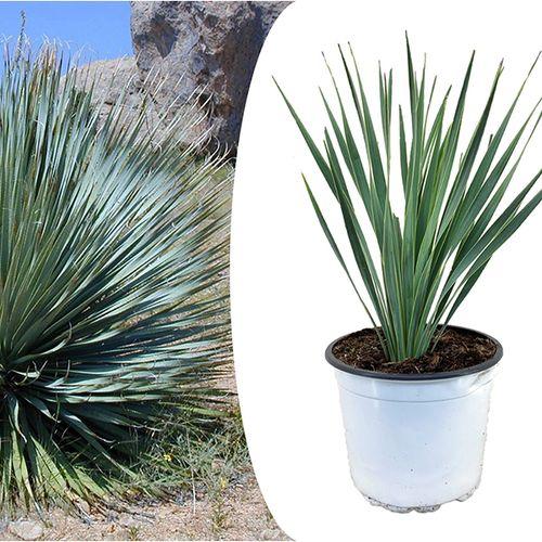 Yucca Rostrata palm-lelie