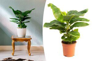 Musa Bananenplant (50 - 60 cm)