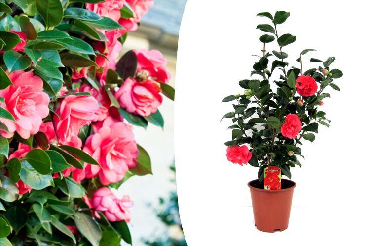 Japanse roos met rode bloemen (60 - 65 cm)