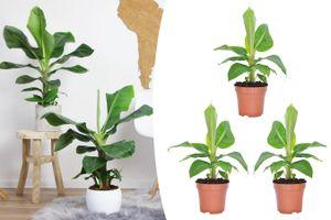 Set van 3 tropische bananenplanten (20 - 30 cm)