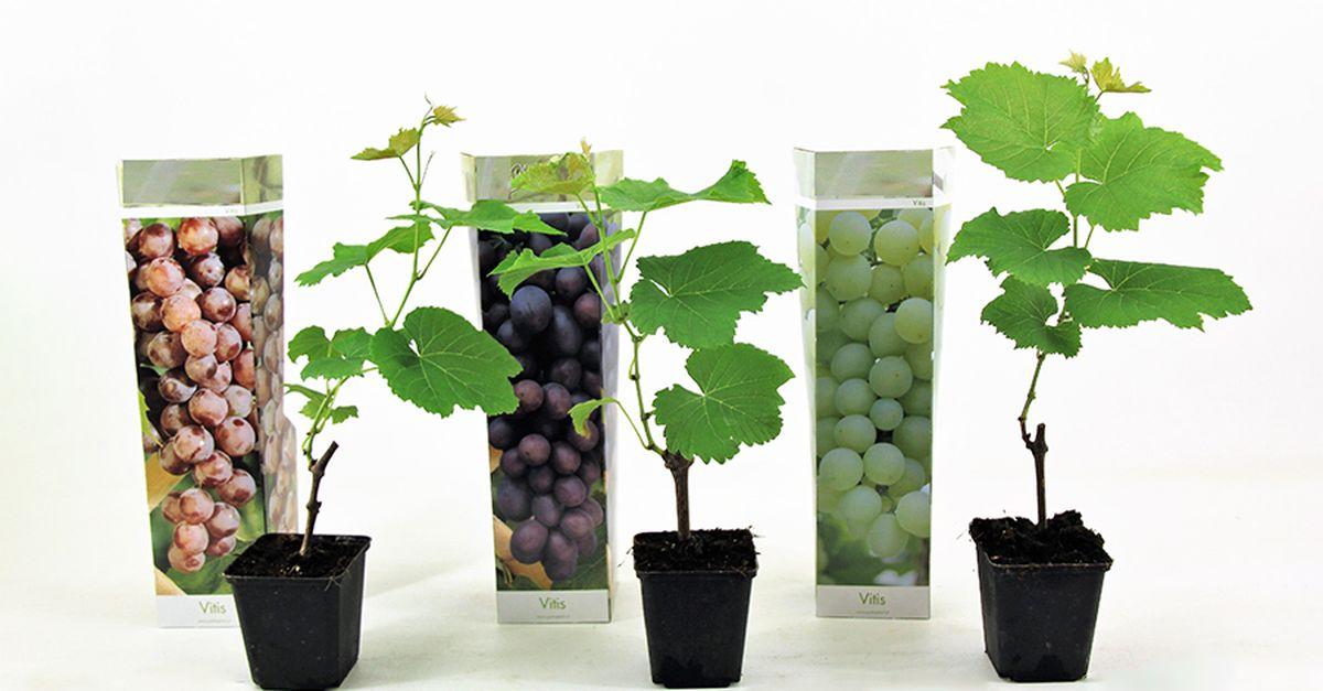 Lot de 3 plants de vigne (20 - 40 cm)