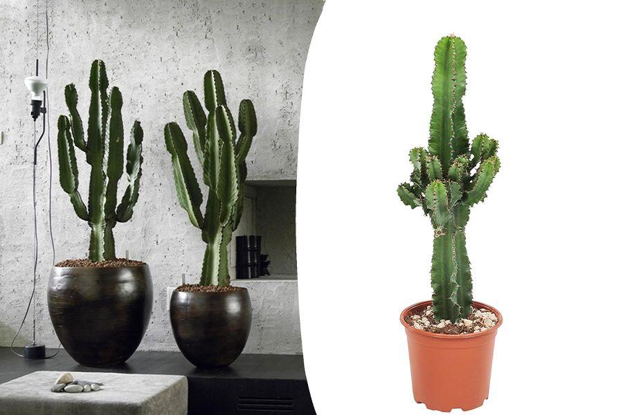 Euphorbia cactus (50 - 60 cm)