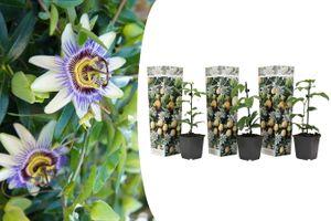 Set van 3 Passievruchtplanten (20 - 30 cm)